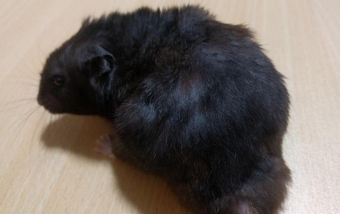 動物病院で教えてもらったクロクマハムスターがはげた原因と治療法(´・ω・`)